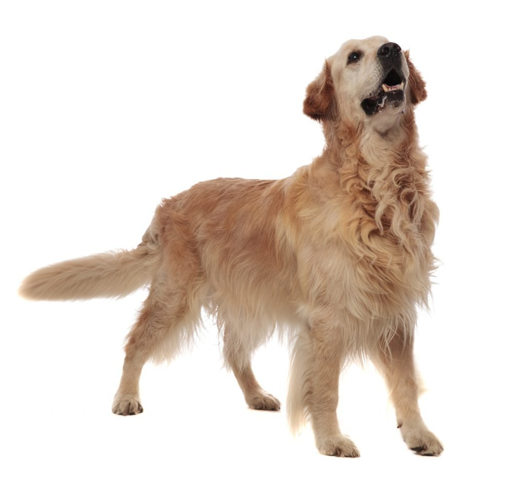 agressive golden retriever standing on white background and looking up to side