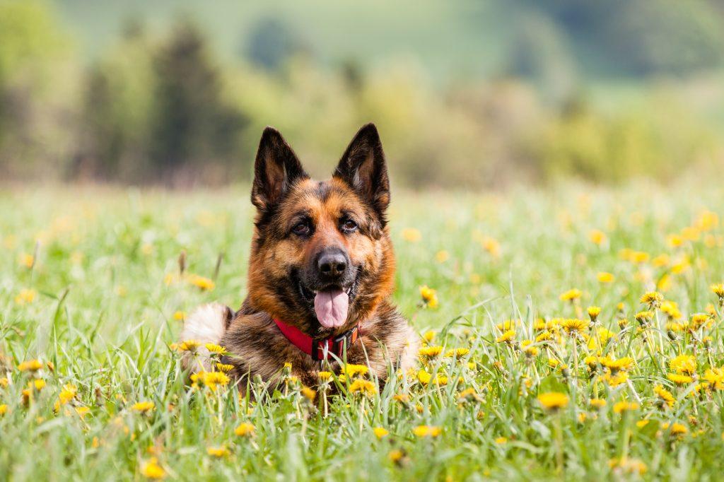 German shepherd dog lying on the ground with flowers