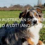 Do Australian Shepherds Shed A Lot? (5 Main Causes & Solutions)