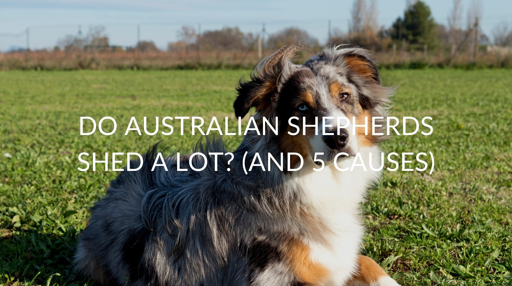 Do Australian Shepherds Shed A Lot? (And 5 Causes)