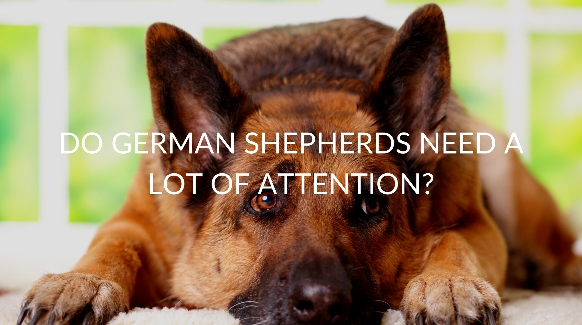 Do Shepherds Need a Lot of Attention?