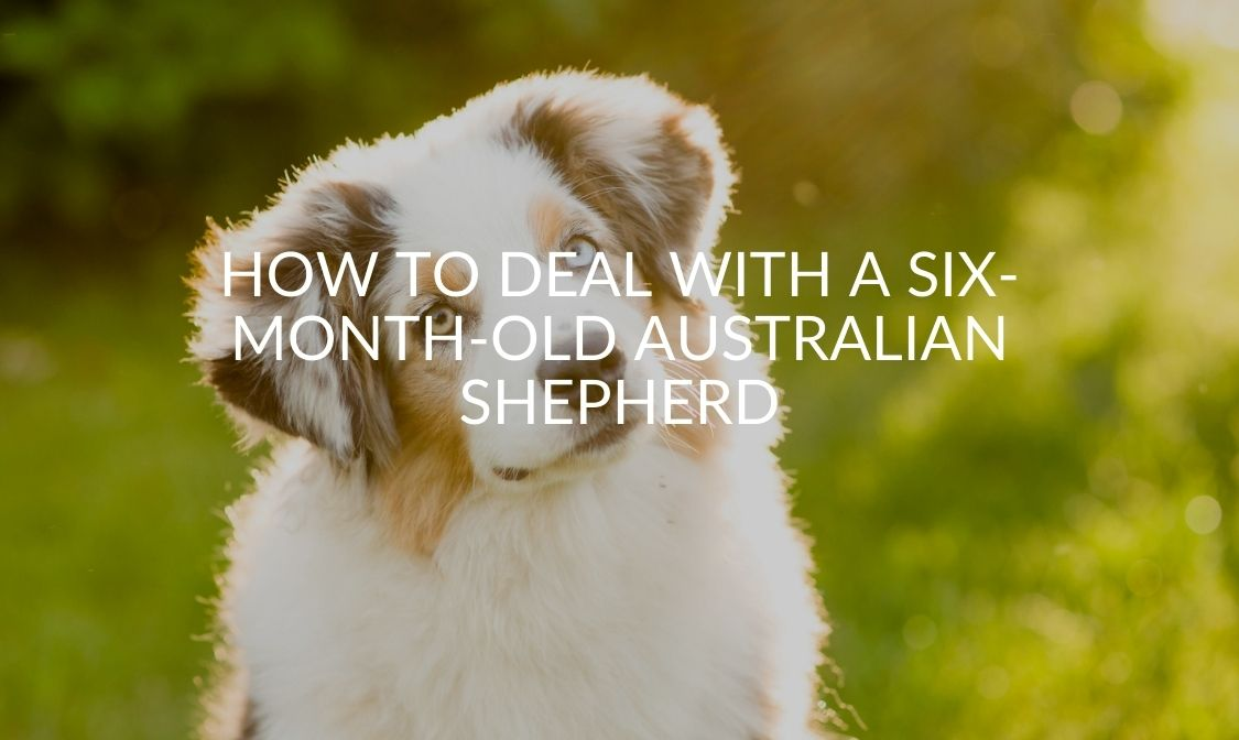 How To Deal With A Six-Month-Old Australian Shepherd