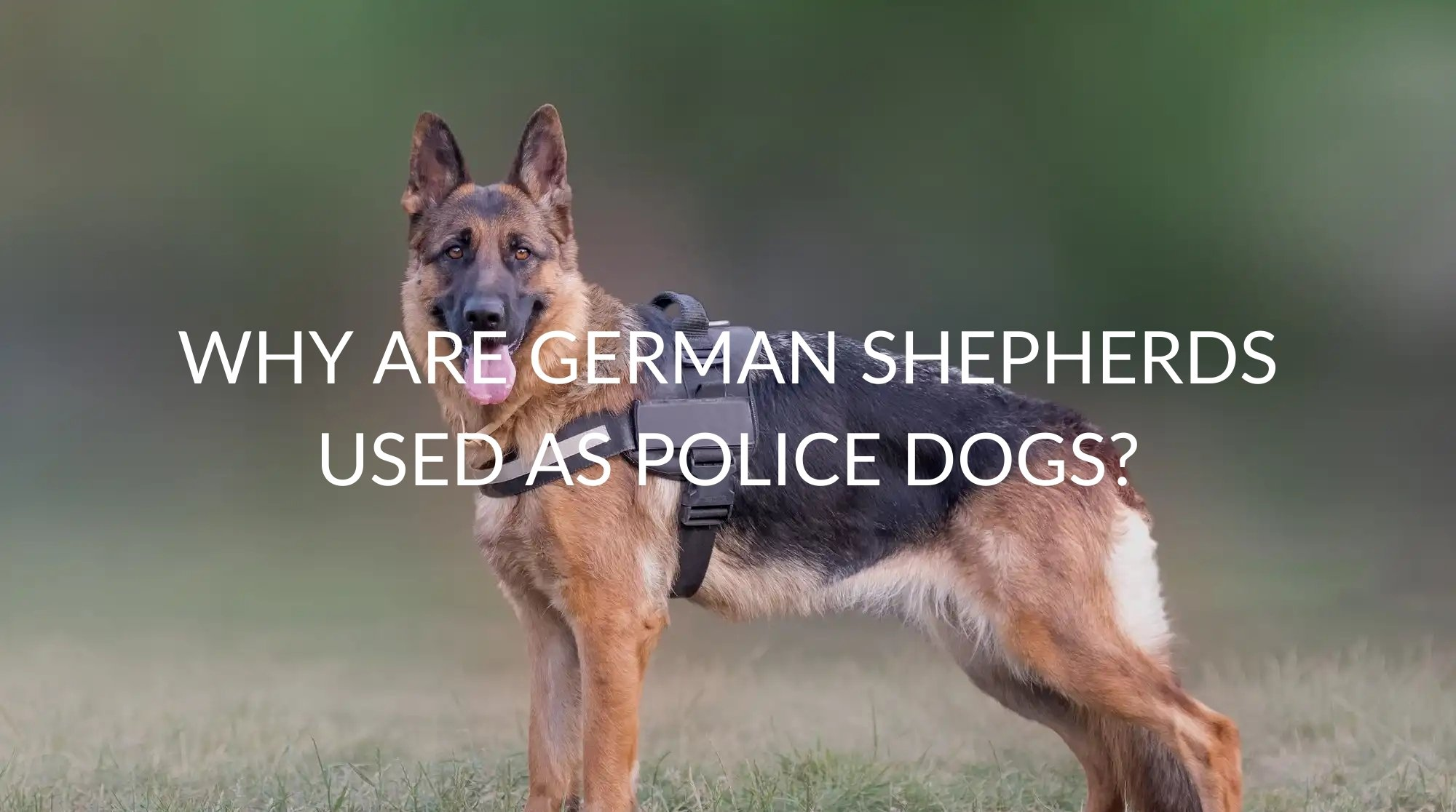 Why Are German Shepherds Used as Police Dogs?