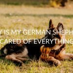 4 Reasons Your German Shepherd Is Scared Of Everything