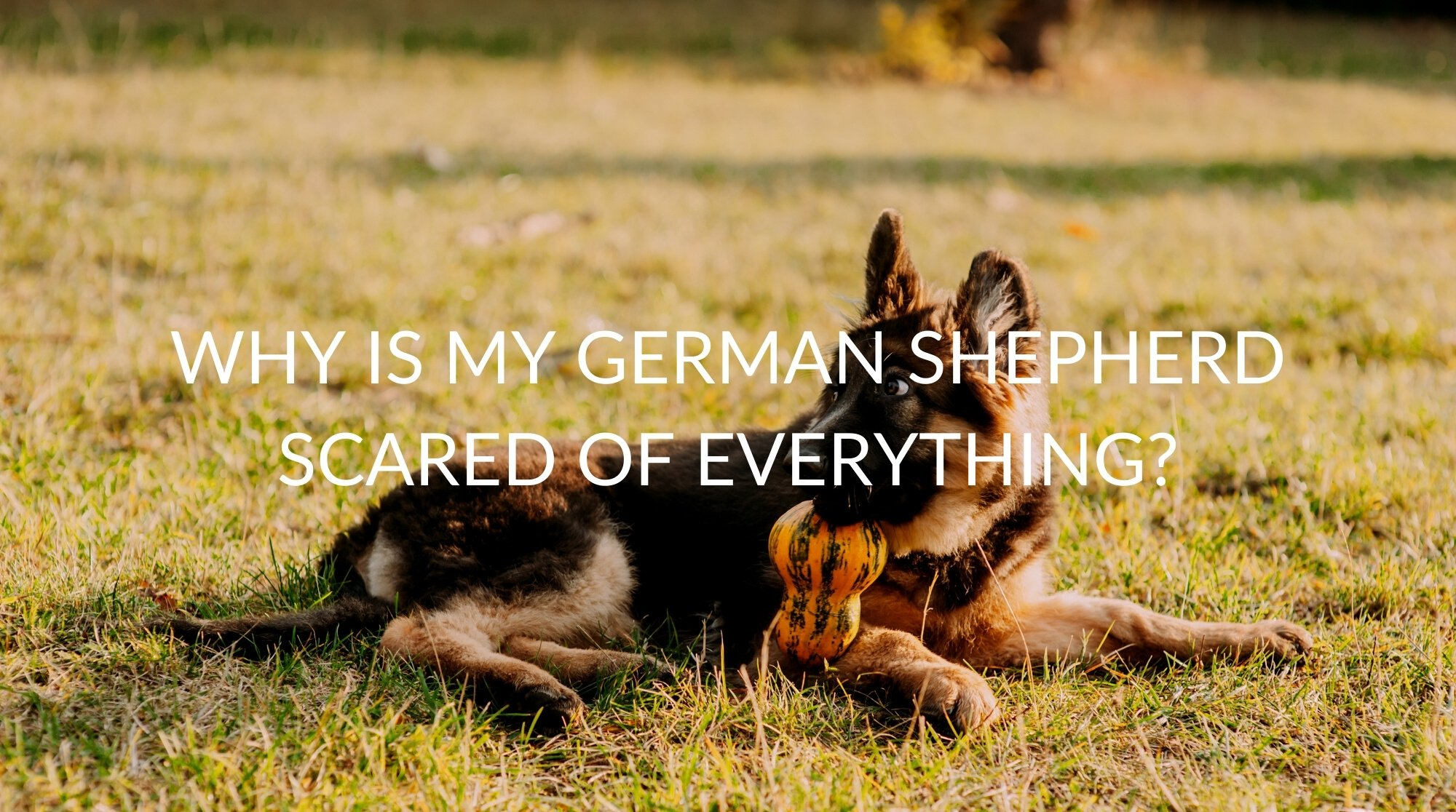 Why Is My German Shepherd Scared Of Everything?