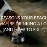 8 Reasons Your Beagle May Be Drinking A Lot (And How To Fix It)