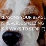 5 Reasons Your Beagle Is Reverse Sneezing (& 5 Ways To Stop It)