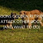 6 Reasons Golden Retrievers Attack Other Dogs (And What To Do)