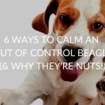 6 Ways To Calm An Out Of Control Beagle (& Why They're Nuts!)