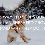 6 Ways To Stop Your Australian Shepherd Growling (And Why They Do It)