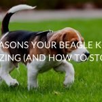 7 Reasons Your Beagle Keeps Sneezing (And How To Stop It)