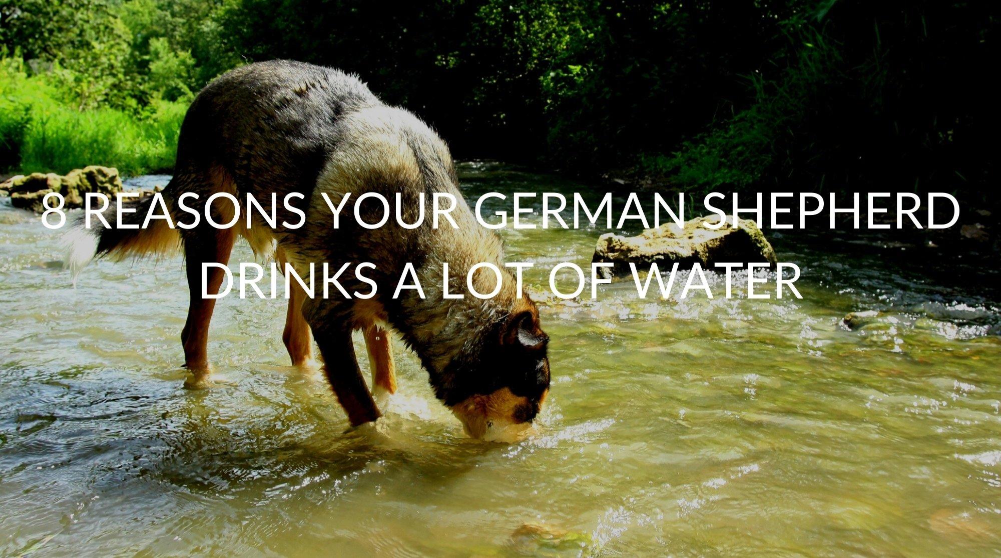 8 Reasons Your German Shepherd Drinks A Lot Of Water