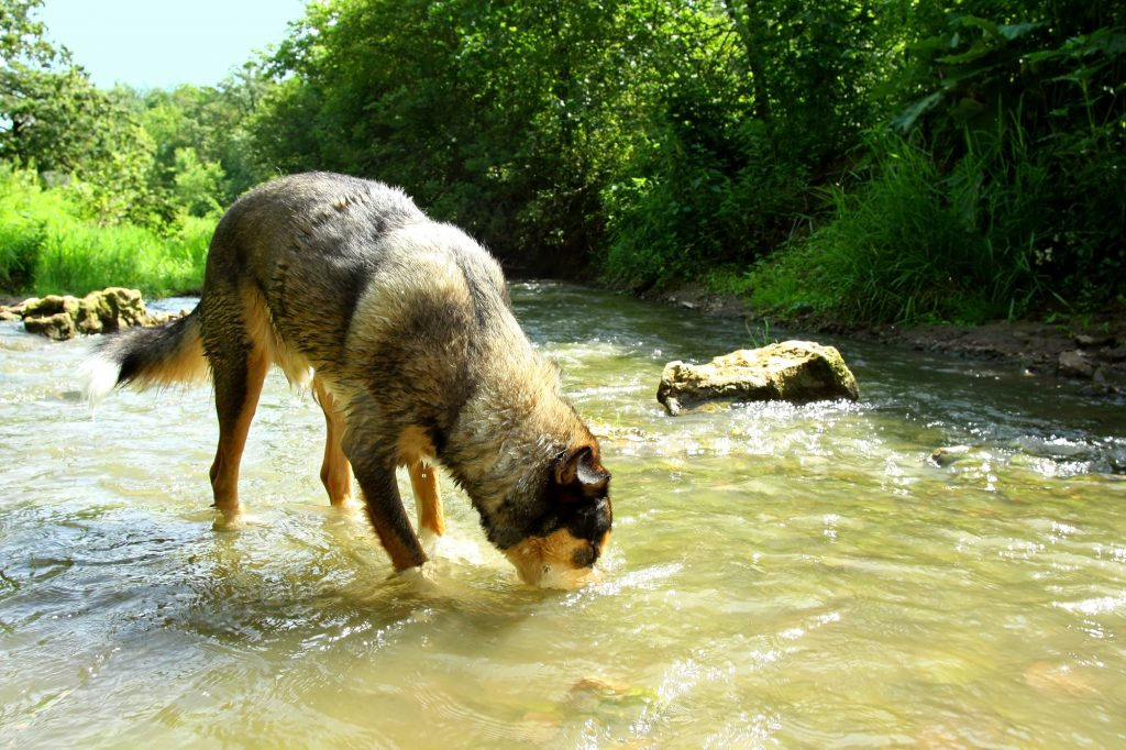 A large german shepherd mix dog is drinking water from a rocky stream