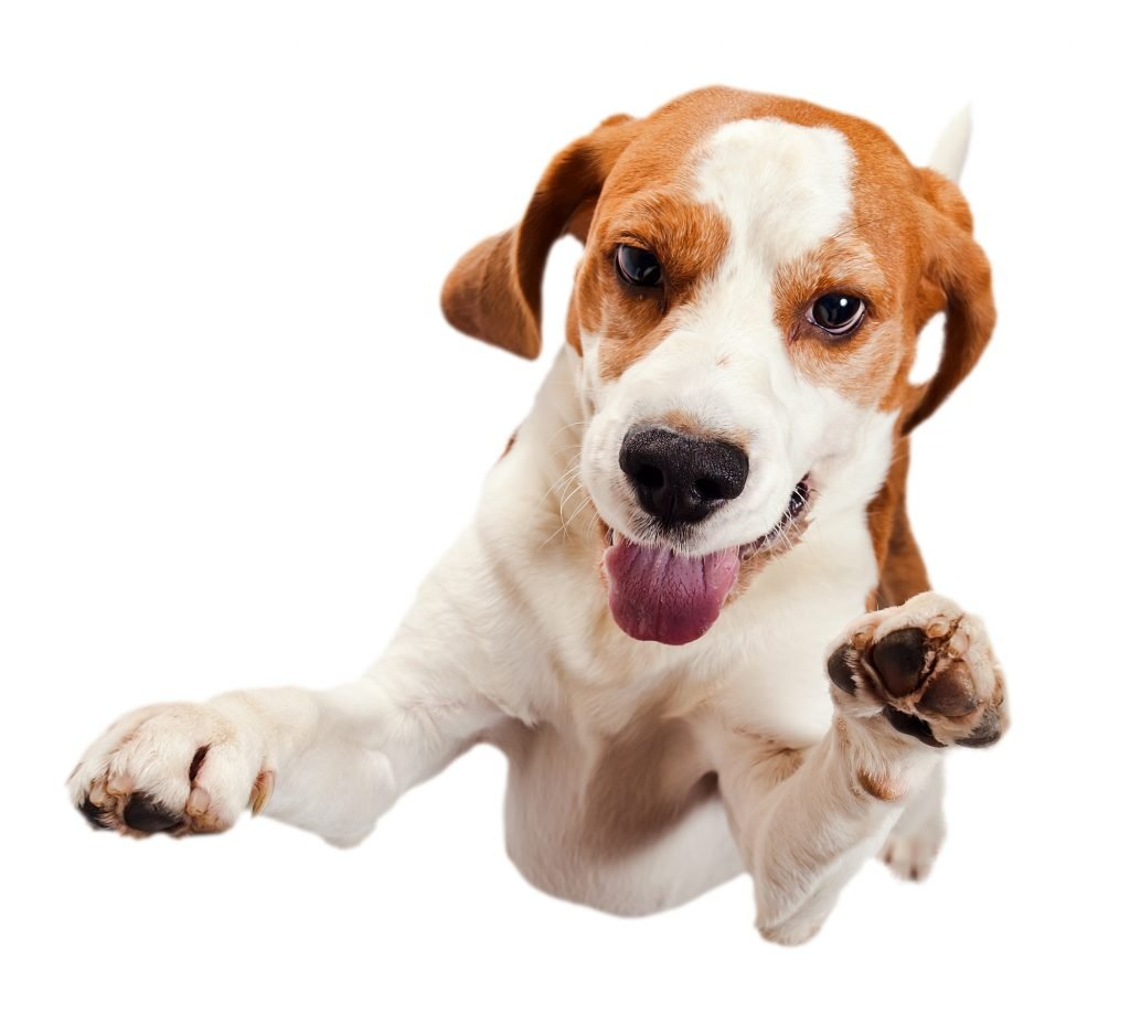 jumping beagle isolated on a white background