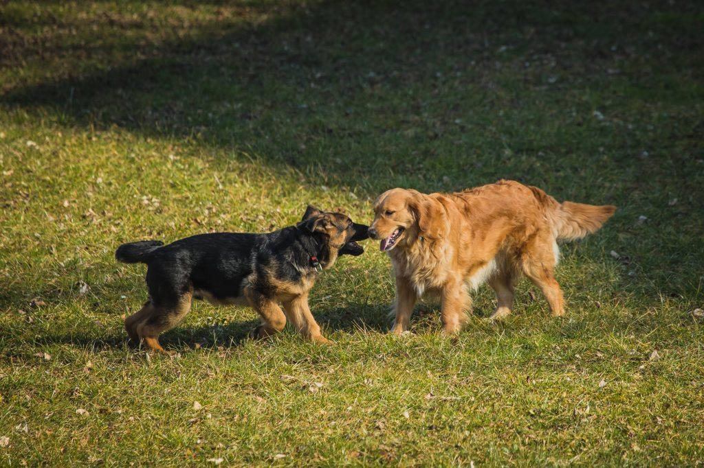 Two dogs playing on a grass field. Young german shepherd and golden retriever are playing with each other. Fun on grass and sun.