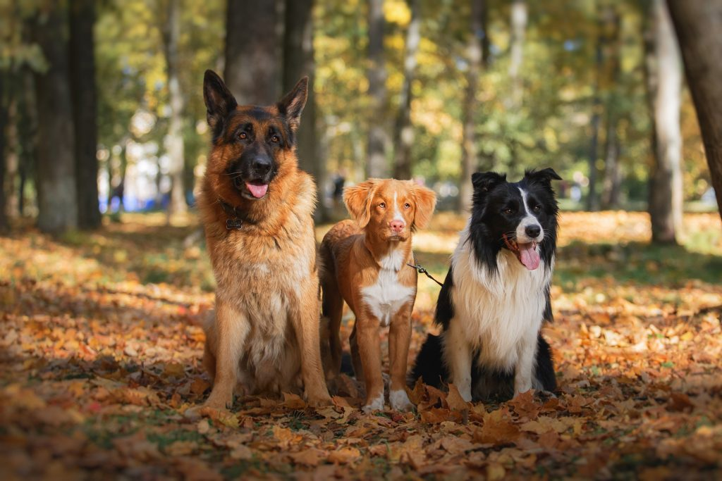 Dog breed Border Collie and German Shepherd and Nova Scotia Duck Tolling Retriever walking in autumn park
