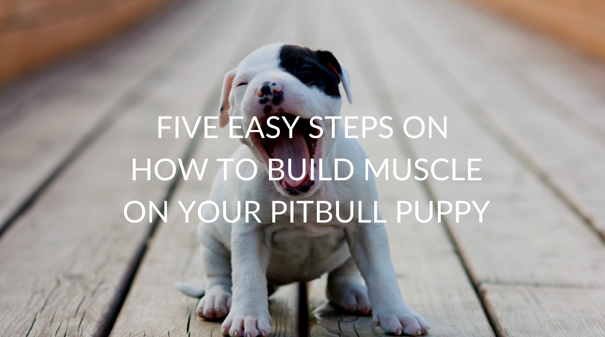 Five Easy Steps on How to Build Muscle on Your Pitbull Puppy